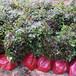 嘉定熱門楓香無紡布袋苗品質優良,楓香杯苗