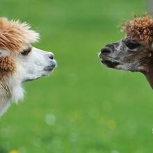 广西防城港羊驼哪里有,宠物羊驼图片