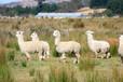 湖南張家界羊駝的價格