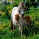重慶潼南優質羊駝