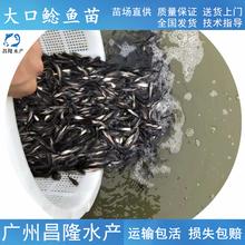 揭陽直供大口鯰魚苗廠家直銷,六須鯰圖片