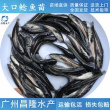 揭陽直供大口鯰魚苗量大從優,六須鯰圖片