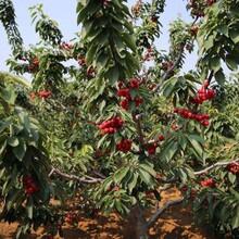 郴州销售樱桃树图片