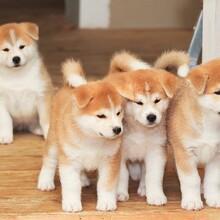 赛级冠军级金毛犬犬疫苗驱虫已做完正规养狗场出售图片