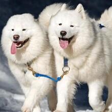 一只薩摩耶多少錢養狗場位置圖片