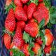 甜寶草莓苗圖