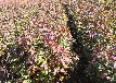 薊縣供應楓香小苗品質優良,楓香地苗