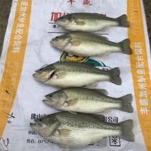 現季供貨加州鱸魚苗鱸魚投苗最優時節,大口黑鱸魚苗圖片