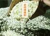 贵港奶茶茶叶批发市场奶茶专用茶叶批发价,广州奶茶茶叶批发市场奶茶茶叶批发商