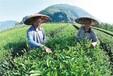 源芽茶廠奶茶店水果茶常用茶葉紅茶綠茶,內蒙古檸檬茶常用茶葉廠家直銷