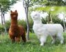 金禾寵物羊駝,江蘇揚州羊駝一只價格