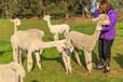 湖南郴州羊駝一只價格,萌寵羊駝