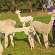 金禾萌宠羊驼,重庆渝中羊驼多少钱一只图片