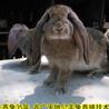 重慶養兔(tu)回收種兔(tu)農廣天(tian)地(di)拍攝種兔(tu)場