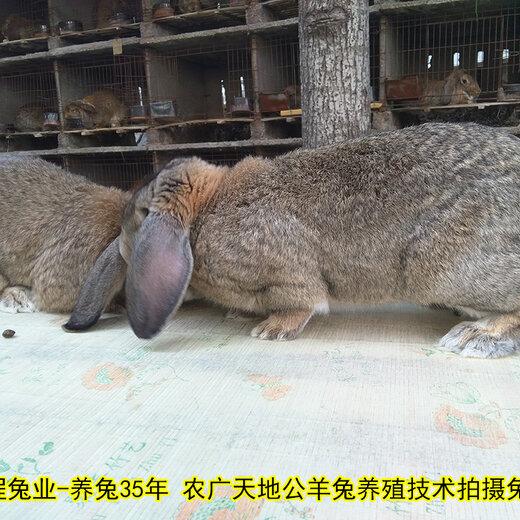 鹽城肉兔老孫30年養兔經驗,菜兔