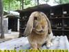 武夷山公羊兔鵬程兔業公羊兔孫師傅35年種兔培育,法國公羊兔