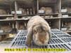 湖州養兔回收種兔農廣天地拍攝種兔場