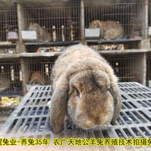 南充合同养兔种兔农广天地拍摄种兔场图片