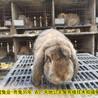 伊春養兔(tu)送飼料種兔(tu)農廣天(tian)地(di)拍攝種兔(tu)場