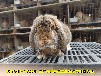 青海養兔送兔籠公羊兔肉兔出欄快,巨型兔