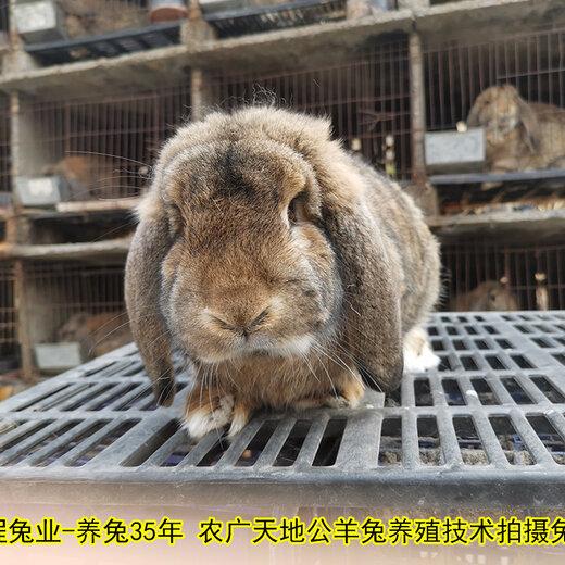 江蘇養兔送兔籠公羊兔肉兔耗料低,巨型兔