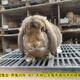公羊兔肉兔圖