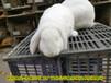 鶴壁合同養兔肉兔量大從優,種兔
