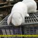 鹽城肉兔圖