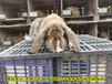 商丘養兔送飼料肉兔繁殖率高
