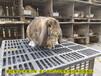 白山公羊兔鵬程兔業公羊兔農廣天地拍攝種兔場