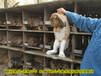 南京肉兔信譽保證,家兔
