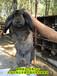 安徽養兔回收公羊兔肉兔場家直銷