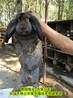 烏魯木(mu)齊合(he)同養兔(tu)公(gong)羊(yang)兔(tu)肉(rou)兔(tu)效益高,巨型(xing)兔(tu)