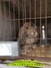 烏蘭察布公羊兔鵬程兔業公羊兔農廣天地拍攝種兔場,垂耳兔