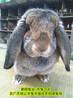 雅安養兔(tu)送飼料種兔(tu)農廣天(tian)地(di)拍攝種兔(tu)場,肉(rou)兔(tu)