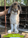 天水養兔送兔籠種兔農廣天地拍攝種兔場