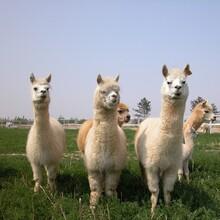 北京海淀羊驼养殖基地,宠物羊驼图片