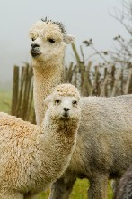 金禾宠物羊驼,天津汉沽羊驼多少钱一只图片