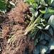 內蒙古草莓苗批發基地