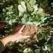 新疆適合大棚種植的草莓苗品種