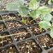 云南草莓苗培育基地