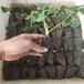 甘肅適合大棚種植的草莓苗品種