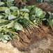 海南基地批發奶油草莓苗什么價格