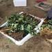 北京供應適合種植的草莓苗品種有哪些