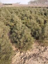 平顶山园林绿化白皮松基地发货图片