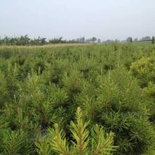 石家庄绿化类白皮松基地供应图片