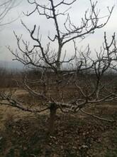 贵州山楂树基地山楂树山楂树价格山楂树产地图片