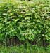 福新苗圃楓香杯苗,周口熱門楓香無紡布袋苗服務周到