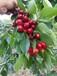 霍邱專業櫻桃樹