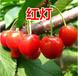 廣州專業櫻桃樹批發